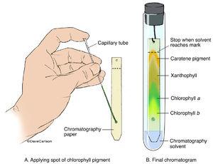 chromatography, chromatogram, paper chromatography