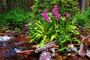 Parry Primrose, Primula parryi, wildflower, East Inlet Creek, Rocky Mountain National Park