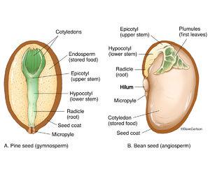 illustration, gymnosperm, pine, angiosperm, bean, seed structure, diagram