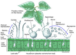 Illustration, powdery mildew, fungal disease, species of fungi, order erysiphales