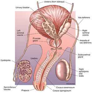 Human urogenital systems diagram wiring diagram for light switch urogenital system human anatomy life science biomedical rh carlsonstockart com fetal pig urogenital system diagram labeled ccuart Gallery