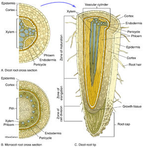 illustration, cross and longitudinal sections, monocot roots, dicot roots, root structure