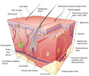 illustration, structure of skin, nerve receptors, touch, pressure, heat, cold