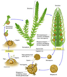 illustration, life cycle, Selaginella, genus of lycophytes, spike mosses
