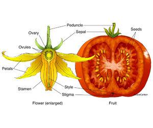 illustration, fertilized tomato flower, mature fruit, structure