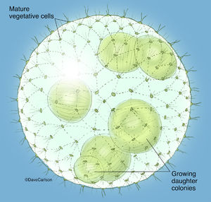 ​Illustration, volvox,  volvox colony, globe algae, green algae, algae