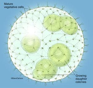Illustration, volvox,  volvox colony, globe algae, green algae, algae