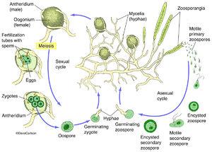 Oomycetes, water mold, fungus-like, unicellular protists, protists