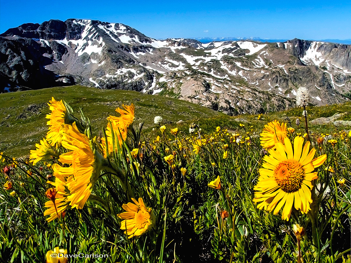 Alpine Sunflower, Hymenoxys grandiflora, tundra wildflower, Old-Man-of-the-Mountain, Boulder-Grand Pass, Rocky Mountain National Park, tundra, photo