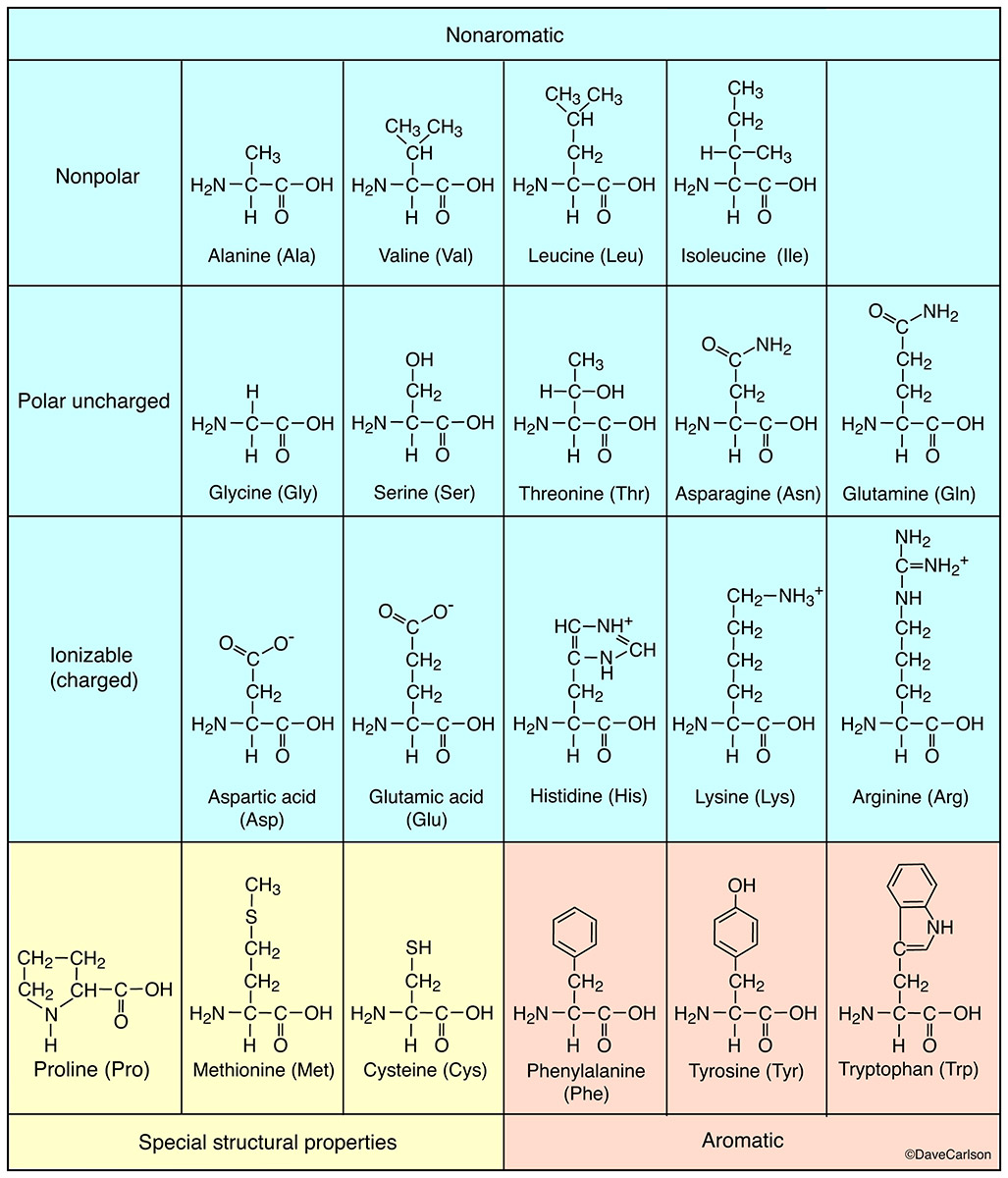 diagram, molecular structure of amino acids, building blocks of proteins, amino acid, protein, photo