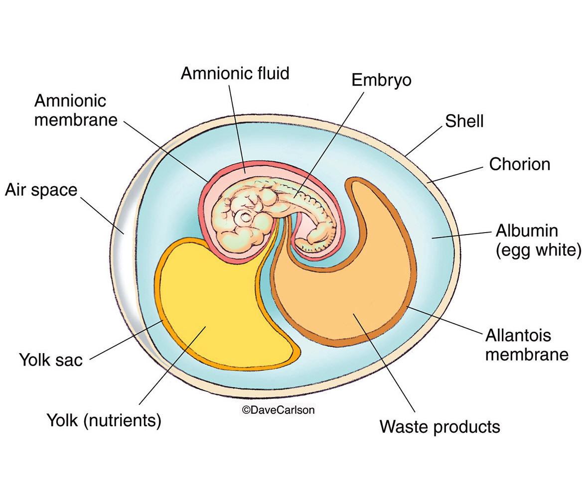 Illustration, internal structure, amnionic egg, reptiles, birds, egg-laying mammals, amniote, photo