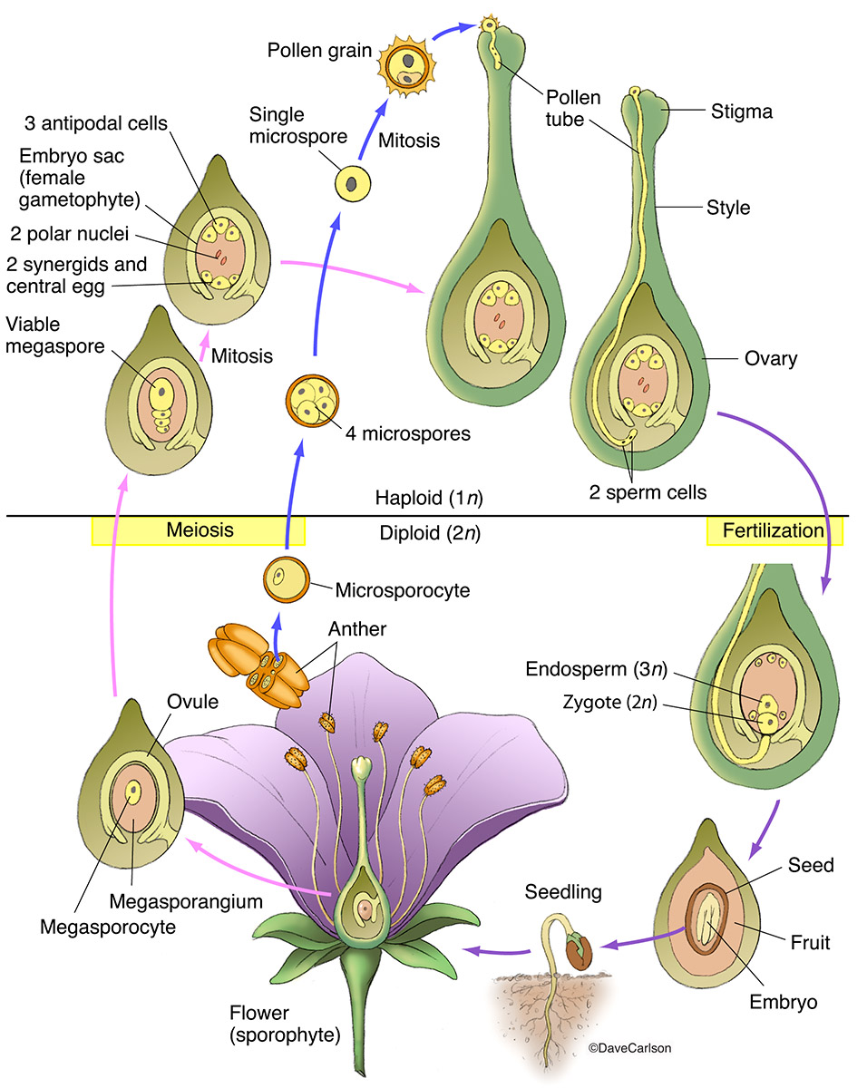Angiosperms are a large group of flowering plants that  includes herbaceous plants, shrubs, grasses and most trees.
