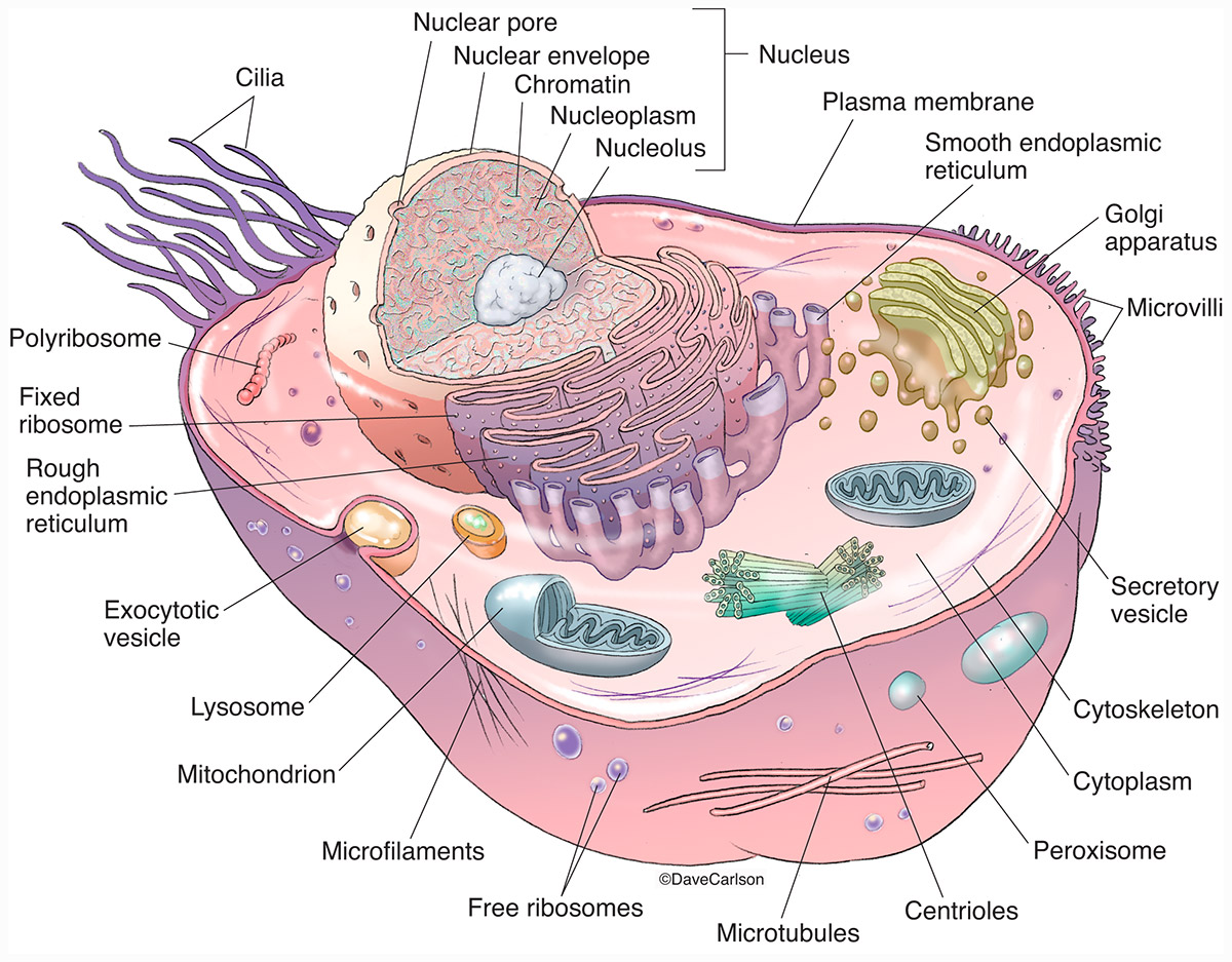 illustration, generic animal cell, generalized, structure, organelles, photo