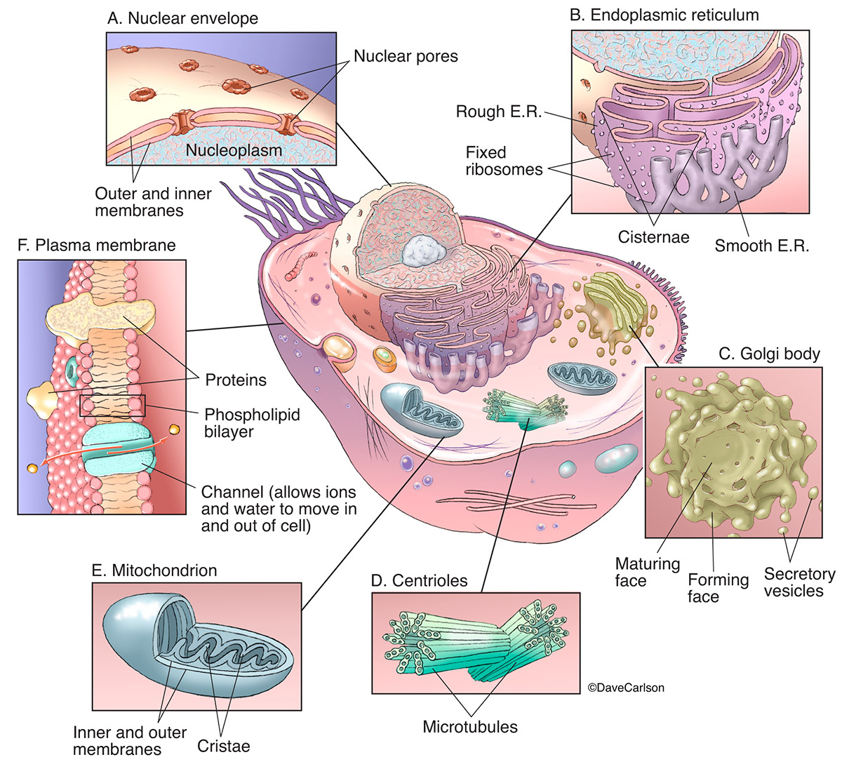 generic, eukaryote, animal cell, cell, organelles, organelle structure, photo