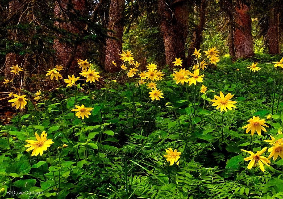 arnica, sunflower, rocky mountain, wildflower, photograph, blue ridge trail, never summer wilderness, colorado, photo
