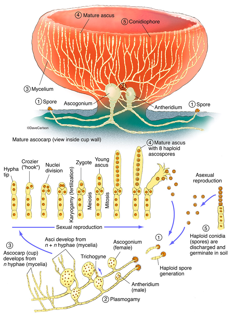 Illustration, structure, life cycle, ascomycete, cup fungus, sac fungus, photo