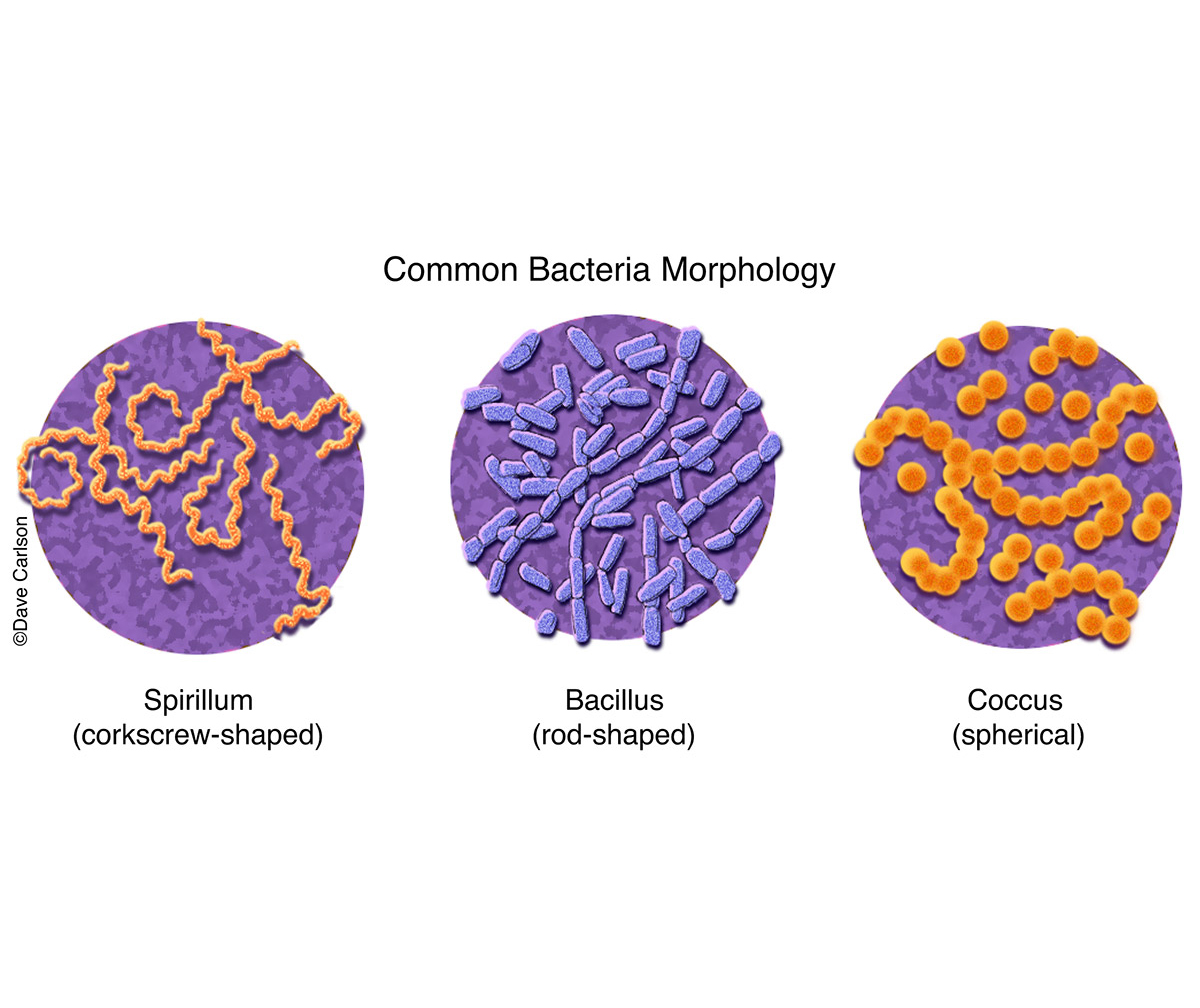 three shapes of bacteria, spirillum (corkscrew), bacillus (rod), coccus (sphere), morphology, photo