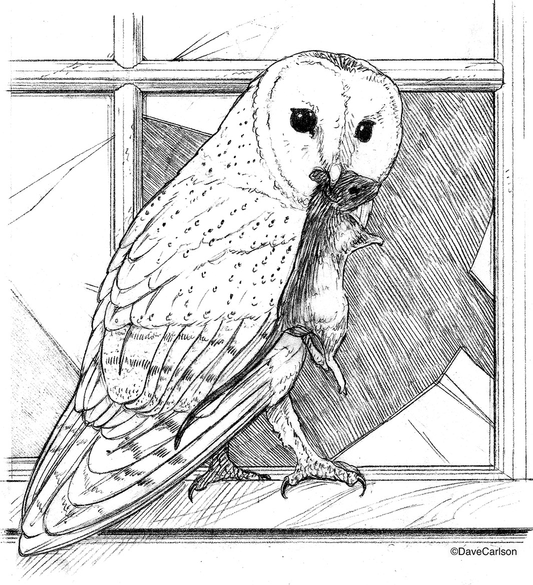 B&W, pencil drawing, barn owl, owl, mouse, photo