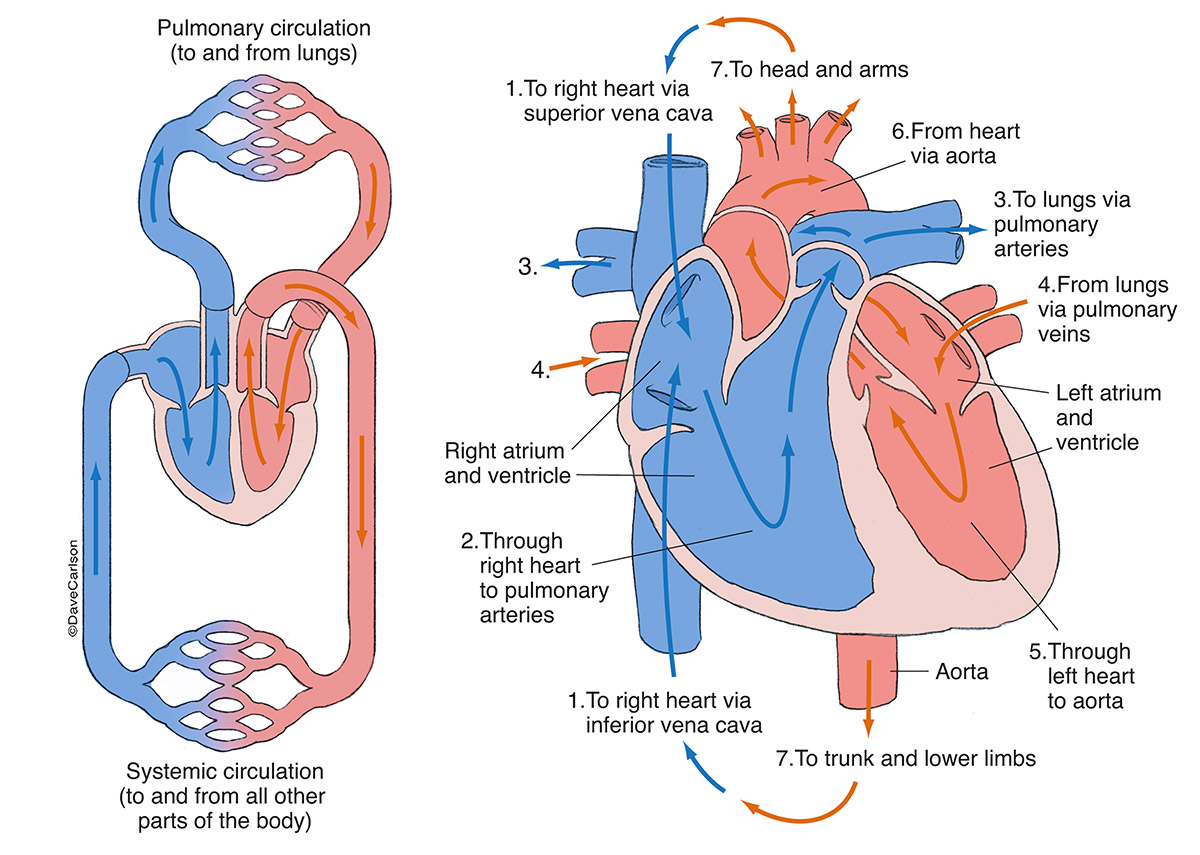 cardiovascular networks, blood circulation, diagram, generalized, photo