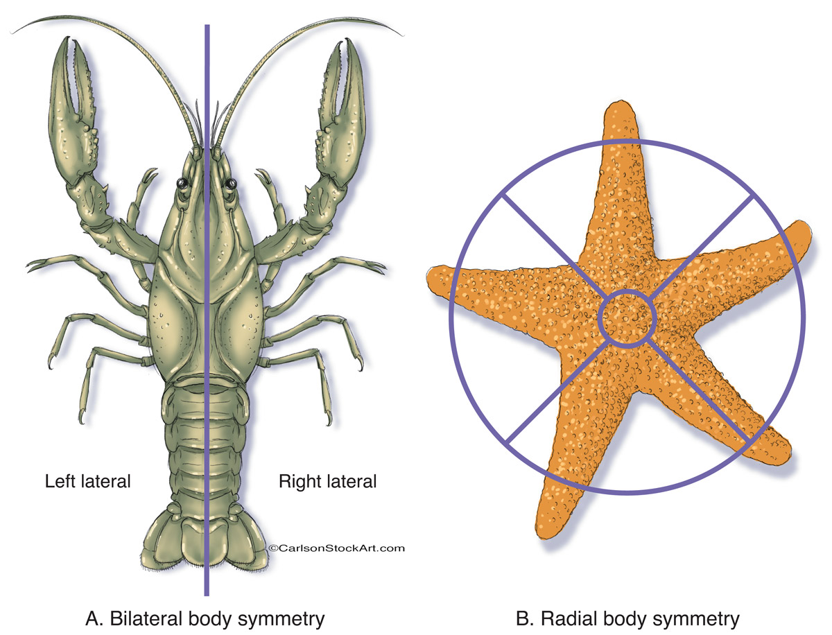 illustration, bilateral and radial body symmetry, photo