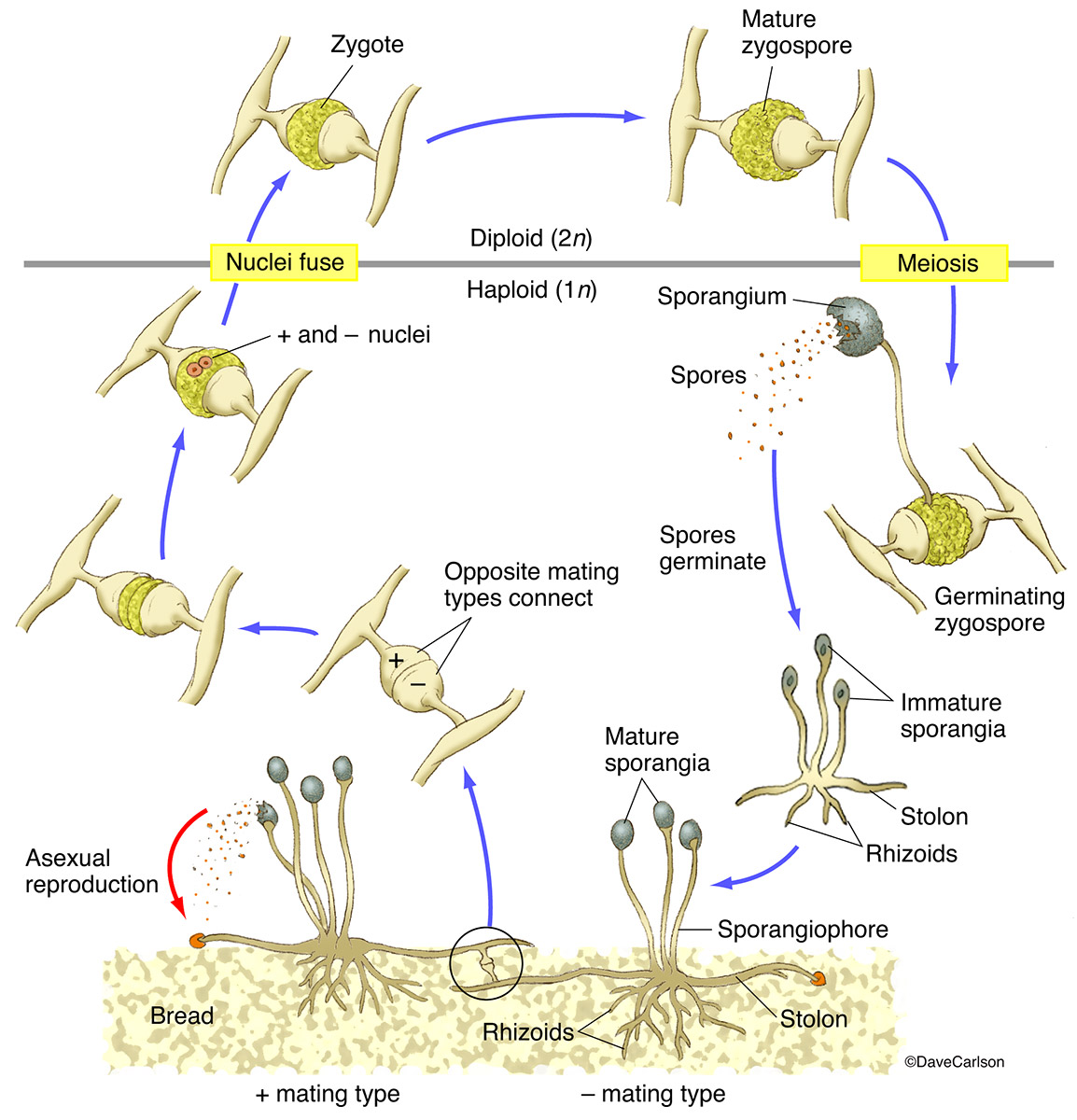 Illustration of the structure and life cycle of bread mold fungus.