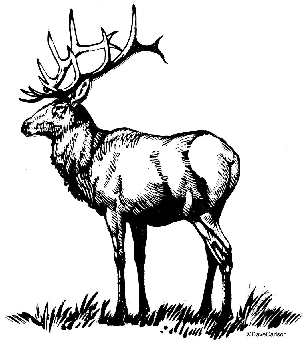 B&W, ink drawing, illustration, North American bull elk, bull elk, elk, wapiti, member of the deer family, photo