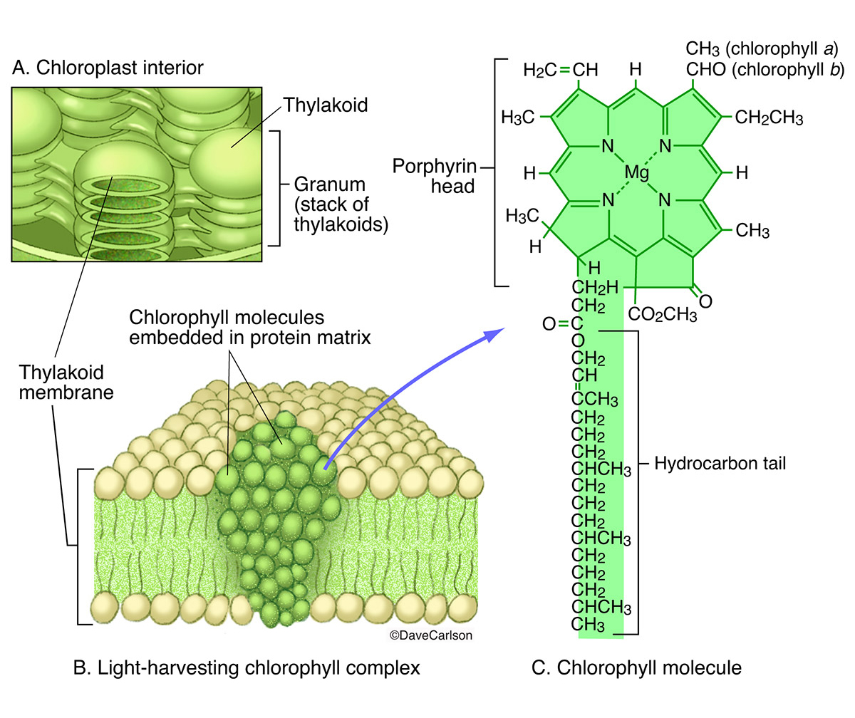 illustration, chlorophyll complex, thylakoid membrane, chemical structure of chlorophyll molecule, molecular structure, photo