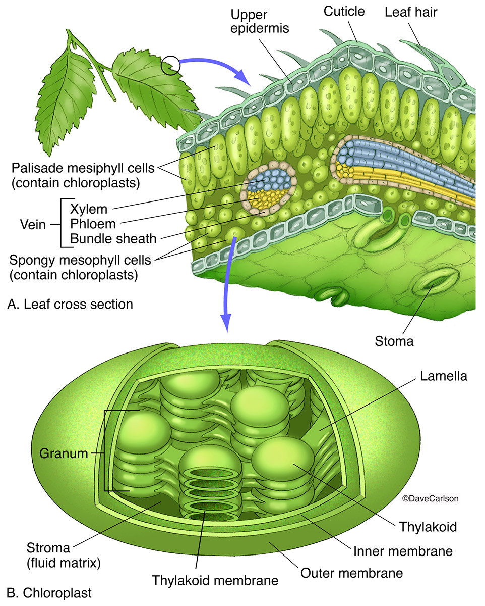 illustration of a chloroplast, photosynthetic organelle, plastid, green plant cell, structure, photo