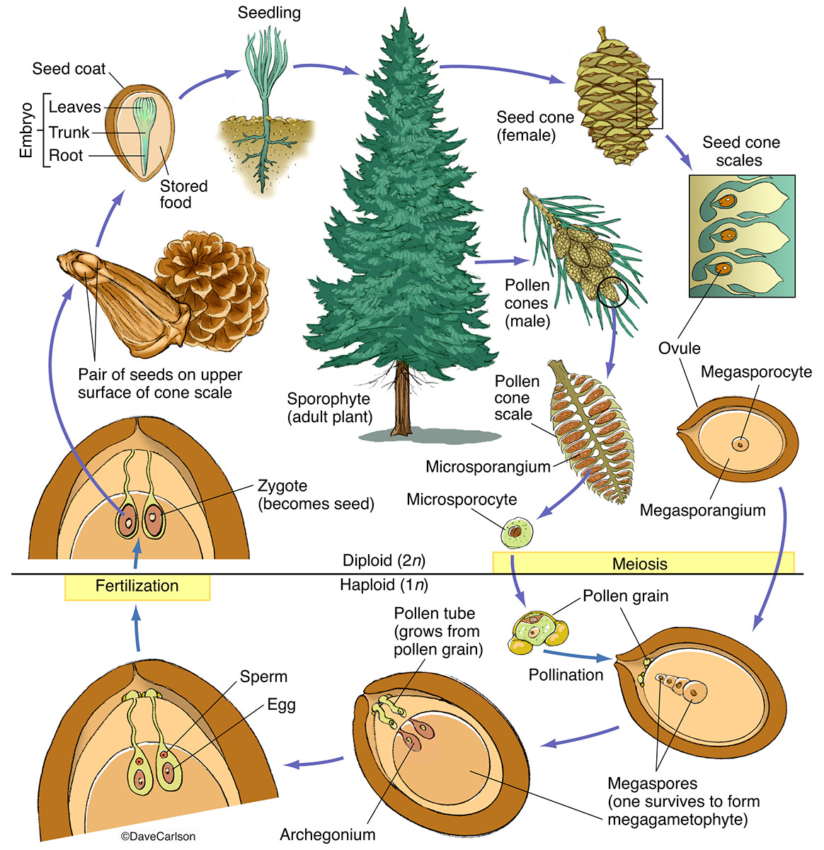 Illustration, life cycle, structure, conifer, pine tree, photo