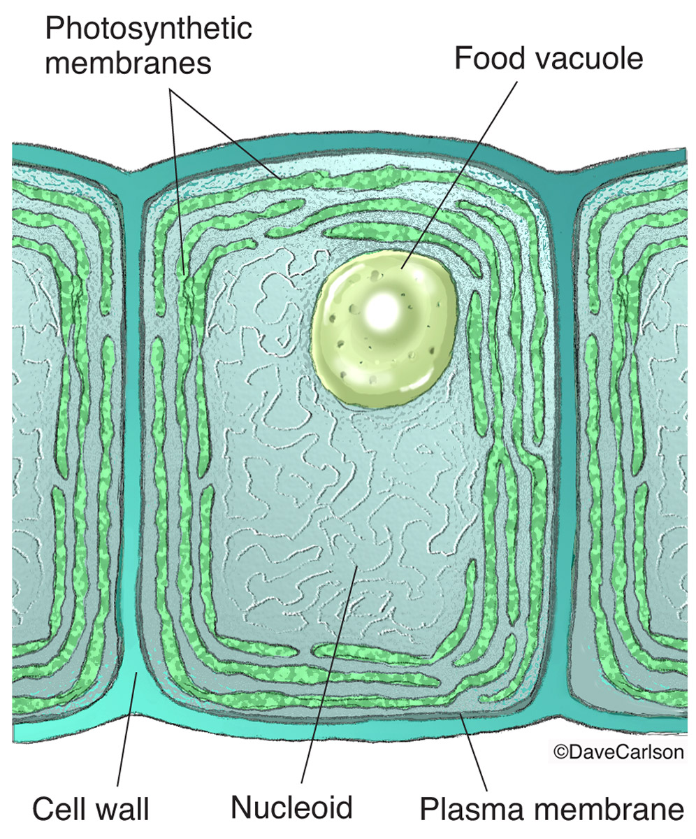 ​Cyanobacteria, cells, energy-producing, photosynthetic membranes,  chloroplasts, green plants, cell structure, photo