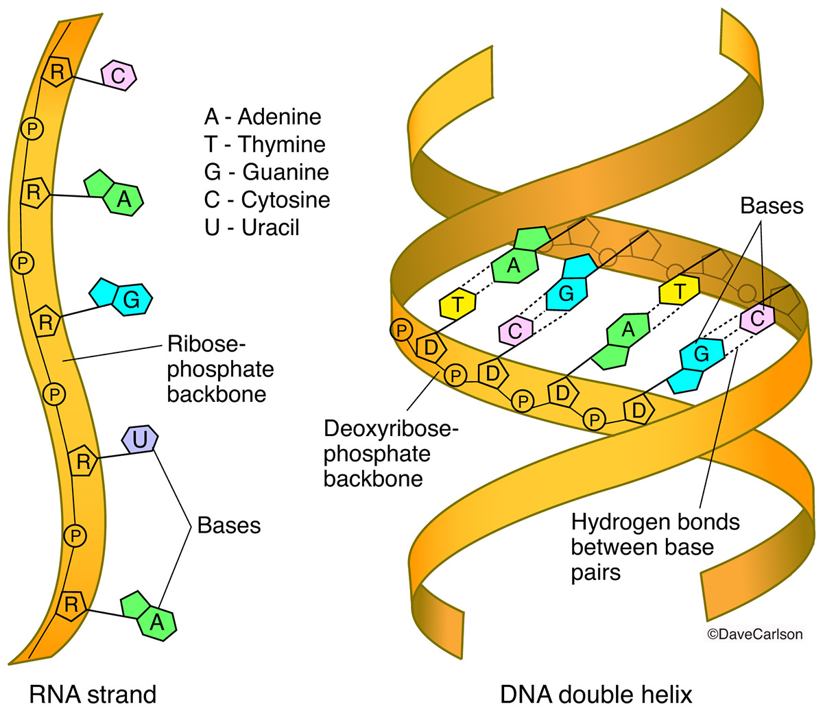 Illustration of the structural components and building blocks of DNA (deoxyribonucleic acid) and RNA (ribonucleic acid).
