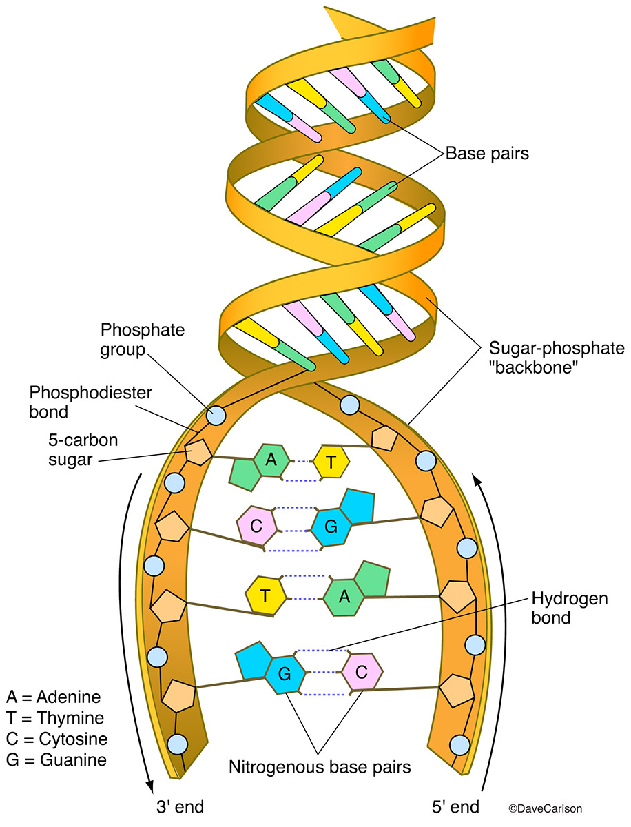 Illustration of the structural components and building blocks of deoxyribonucleic acid.