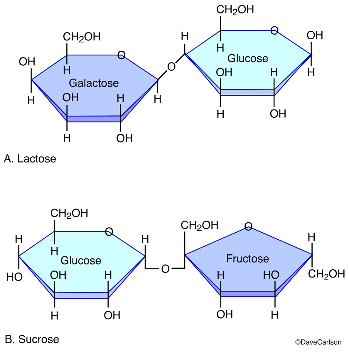 disaccharide molecules, sucrose, lactose, combinations of two monosaccharide molecules, photo