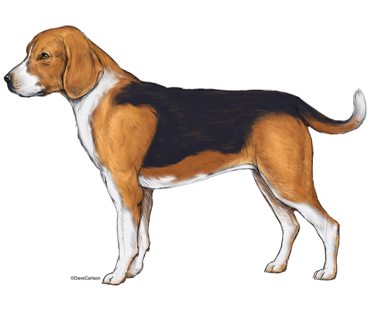 illustration, lateral view, beagle, dog, photo