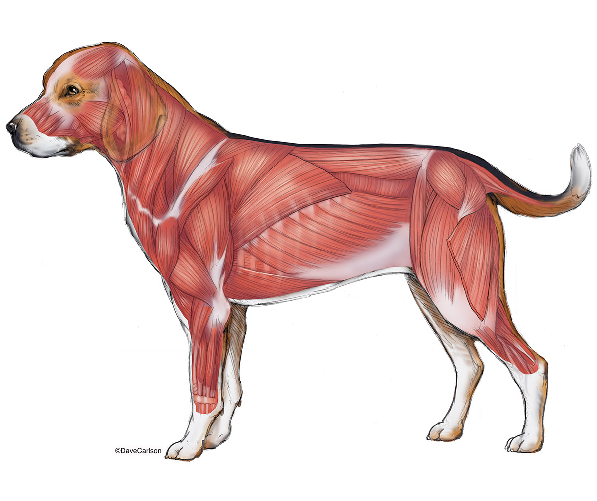 illustration, canine superficial, lumbar, quadriceps muscles, musculature, lateral view, photo