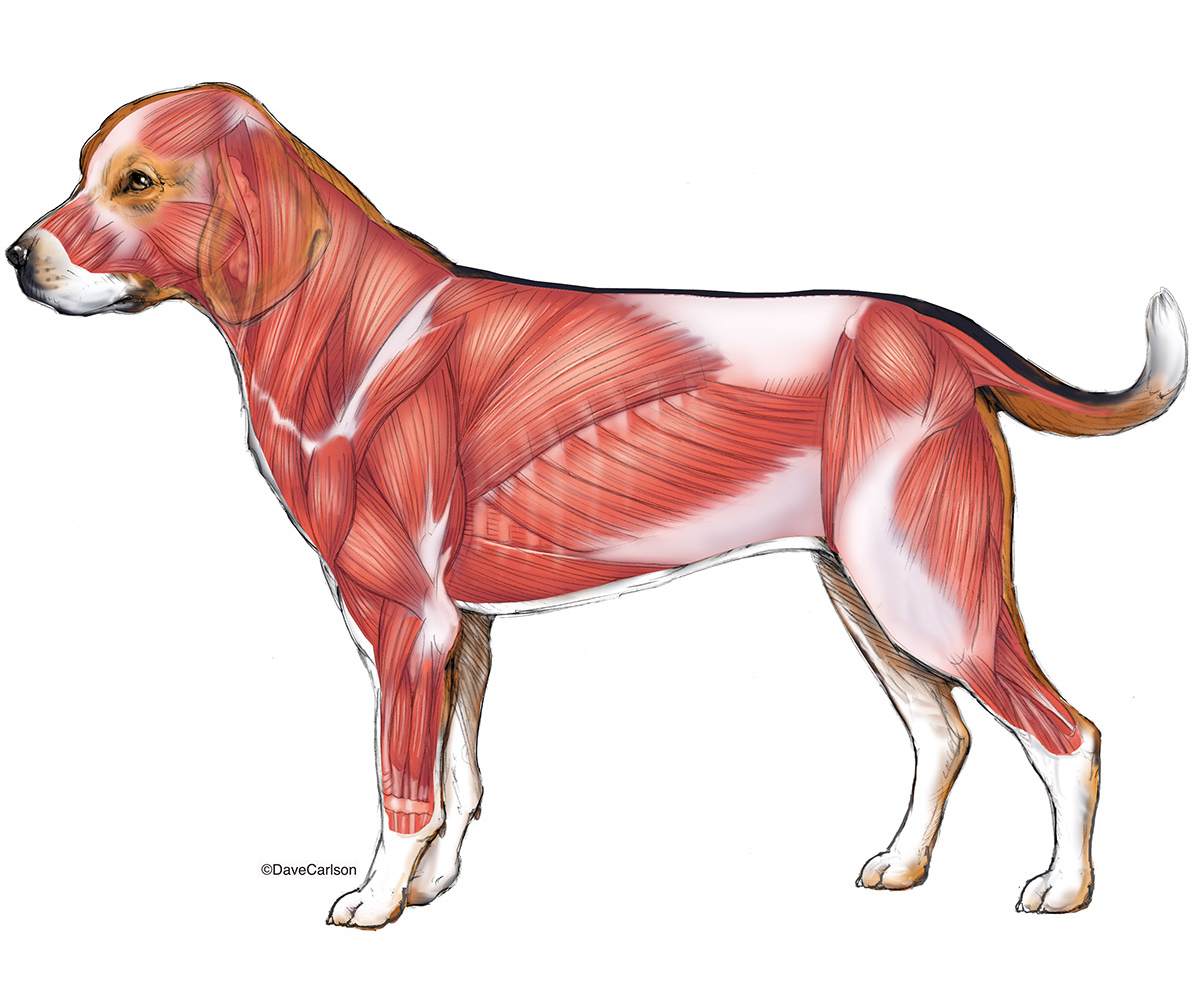 illustration, superficial muscles, musculature, dog, canine, lateral view, photo