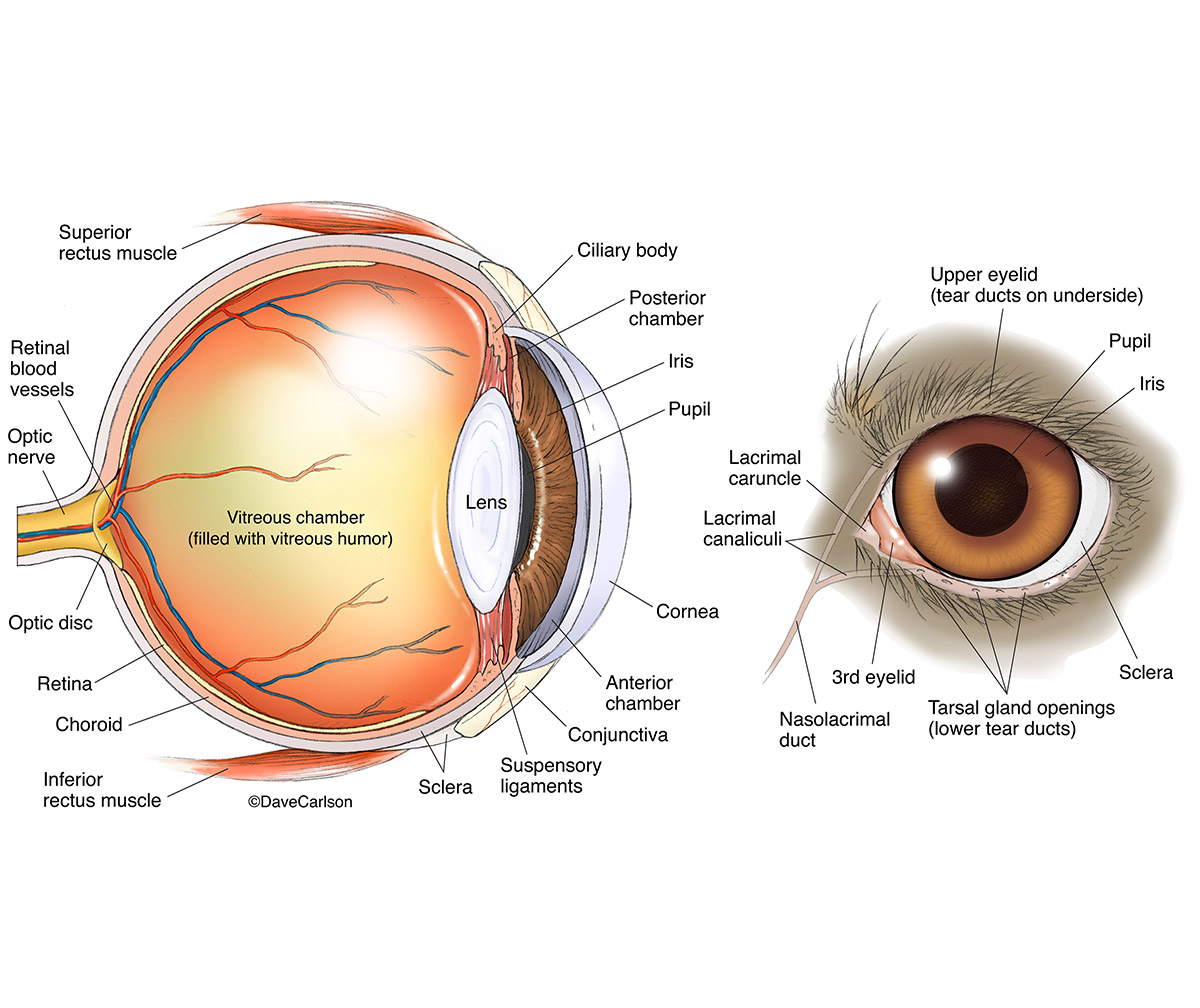 Dog Eye Anatomy | | Carlson Stock Art