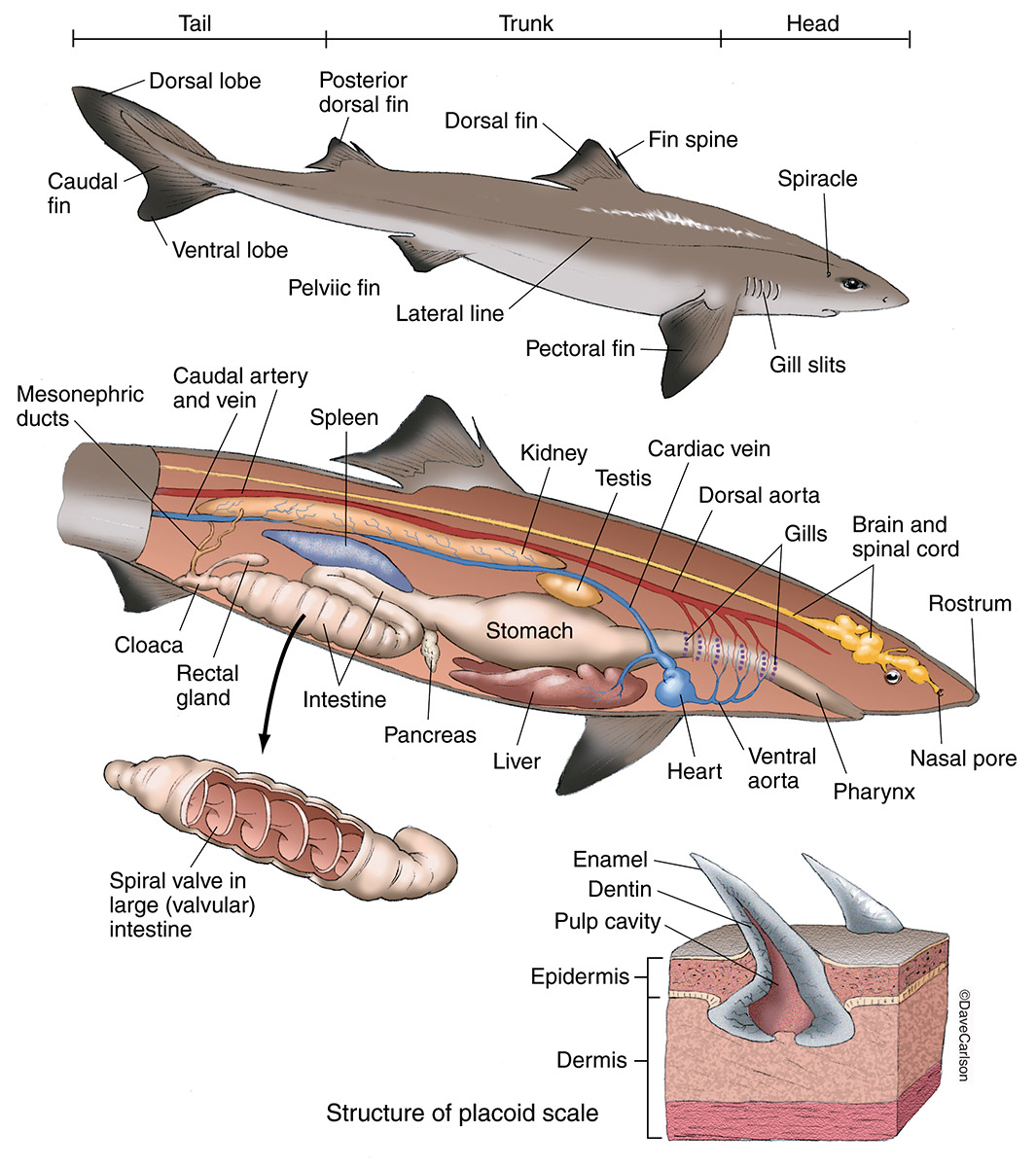 Illustration, external internal anatomy, shark, shark anatomy, photo