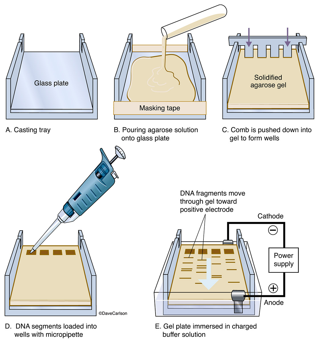 step-by-step diagram, electrophoresis sampling procedure, set up, photo