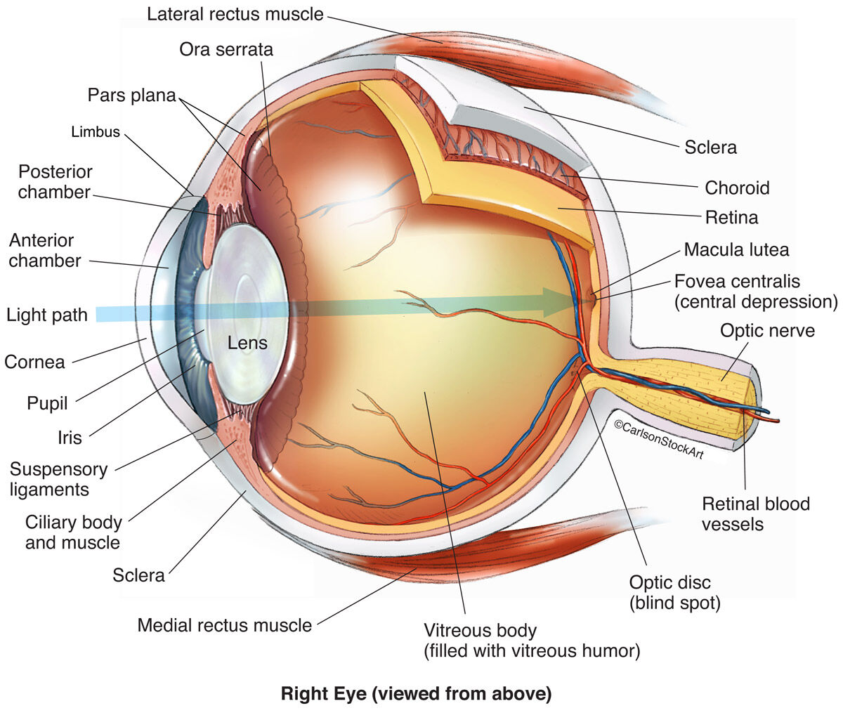 Eye Anatomy 1 Illustration Carlson Stock Art