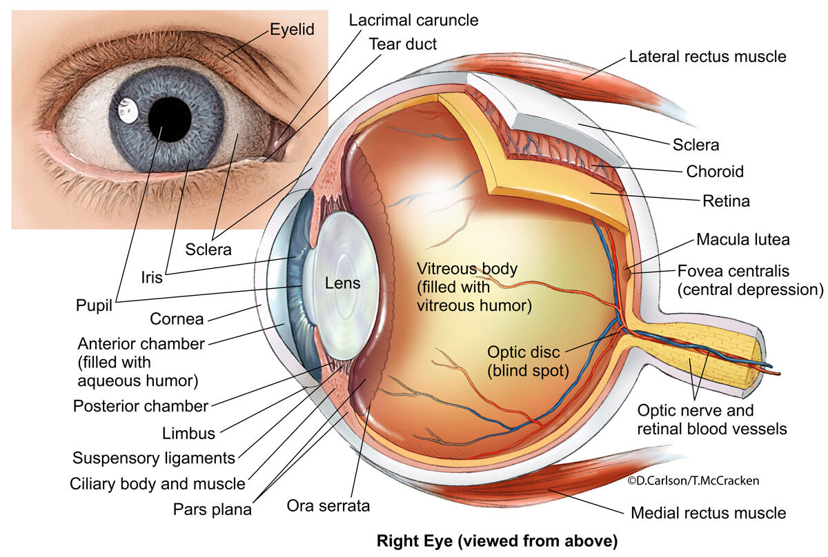 Eye Anatomy 2 Illustration Carlson Stock Art