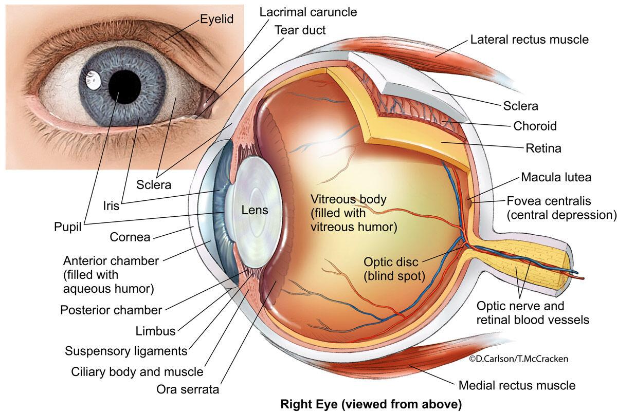 External & Internal structure of the human eye.