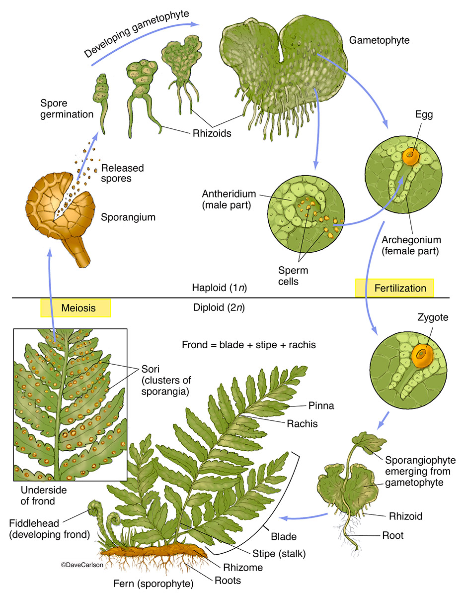 Ferns, vascular plants, reproduce via spores, have neither seeds nor flowers, photo