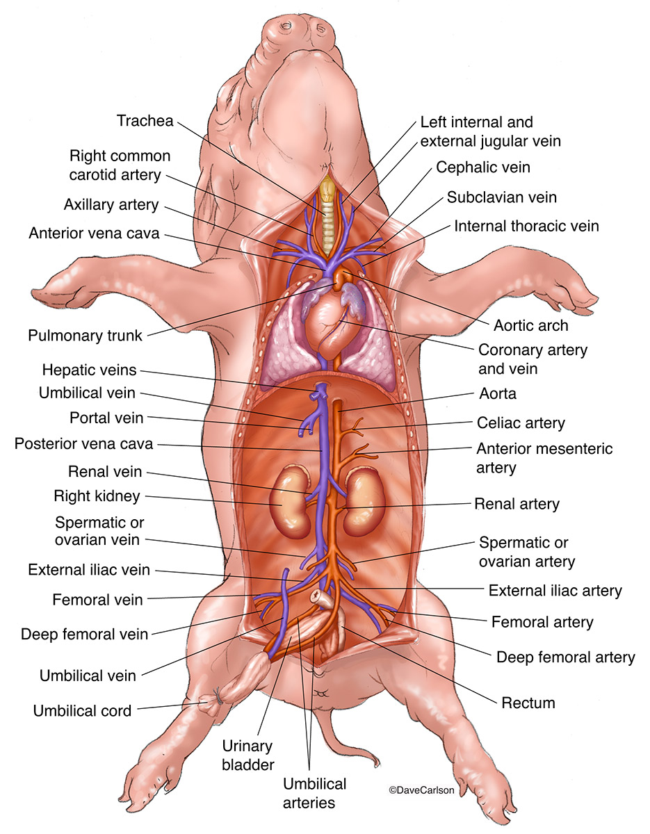 ​Overview, circulatory system, cardiovascular system, fetal pig, photo