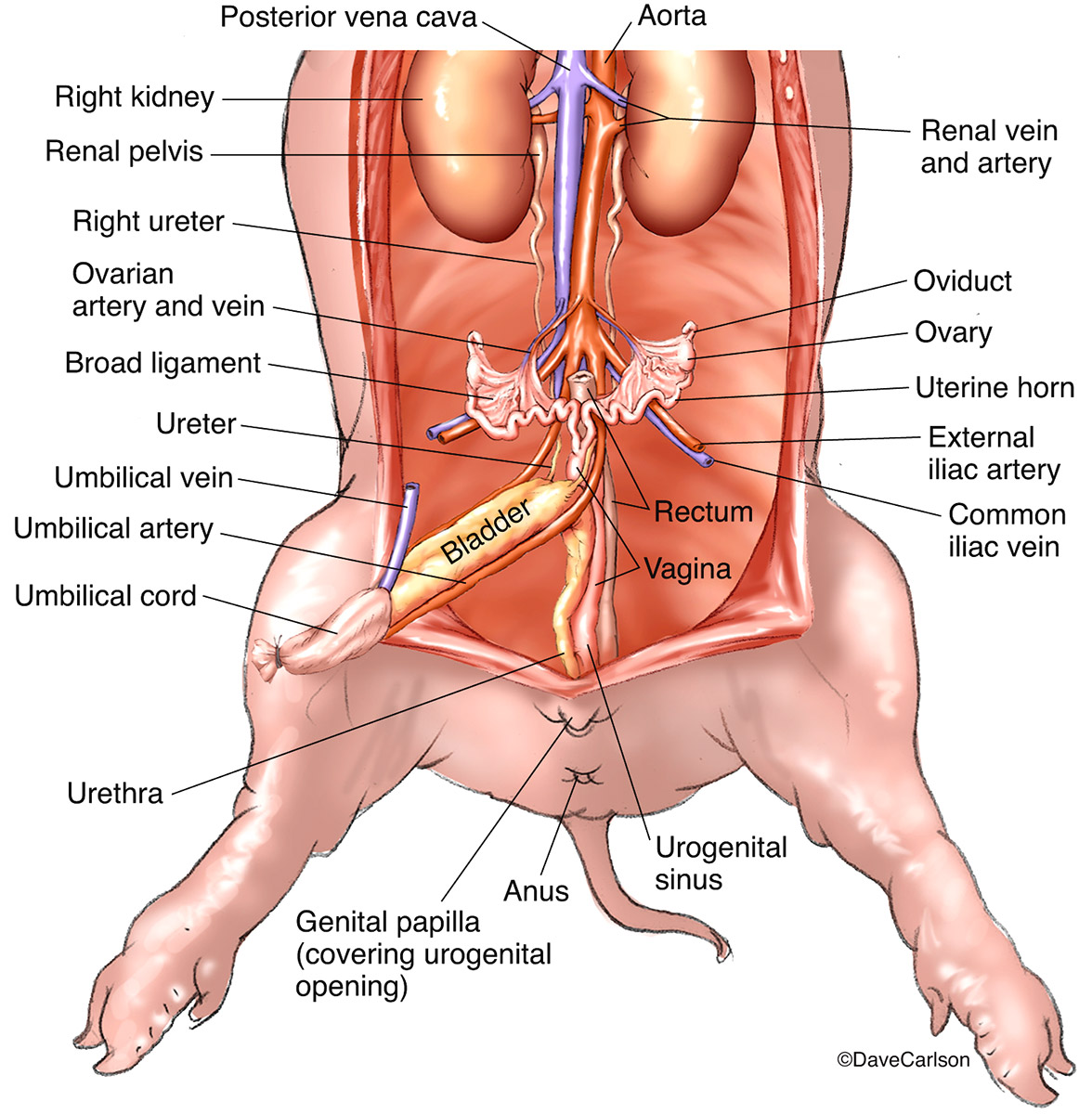 Illustration, urogenital organs, urogenital system, blood supply, female​ fetal pig, photo