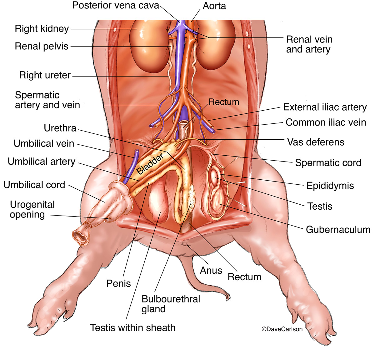 illustration, urogenital system, blood supply, male fetal pig, photo