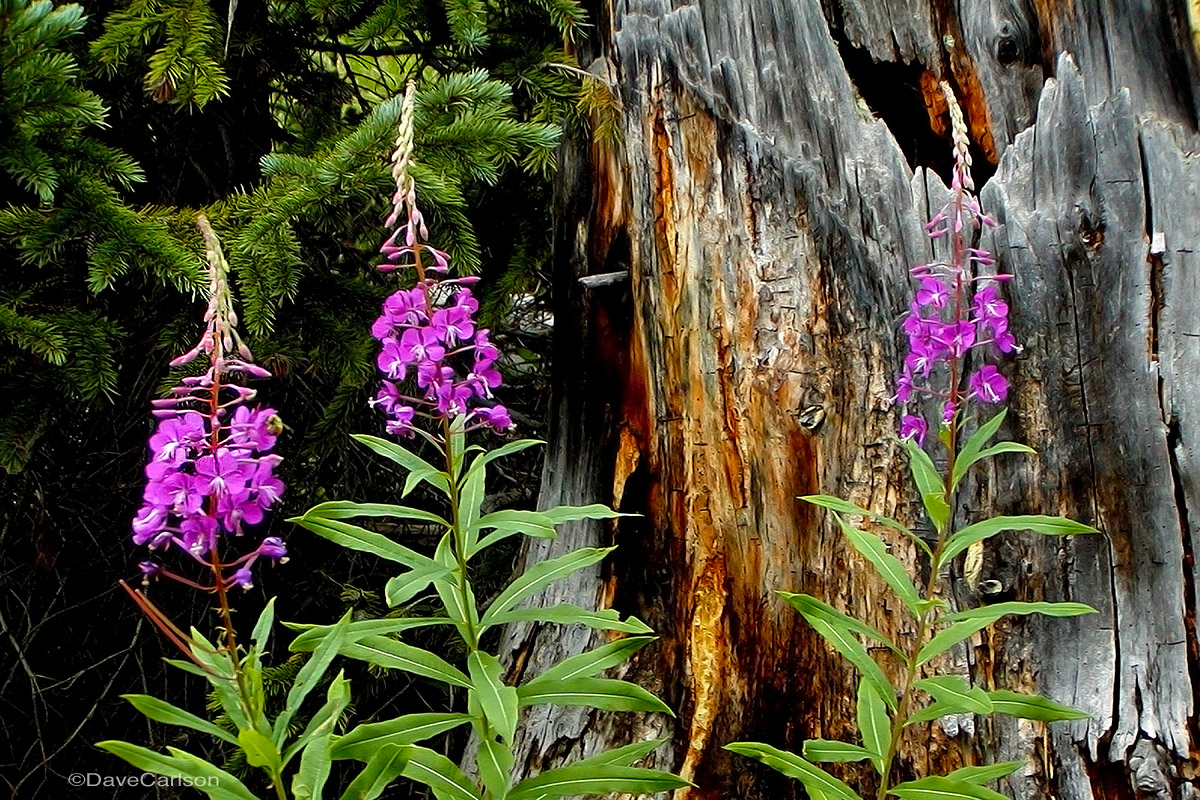 Fireweed wildflowers (Chamerion danielsii) along the Emerald Lake Trail, Rocky Mountain National Park.