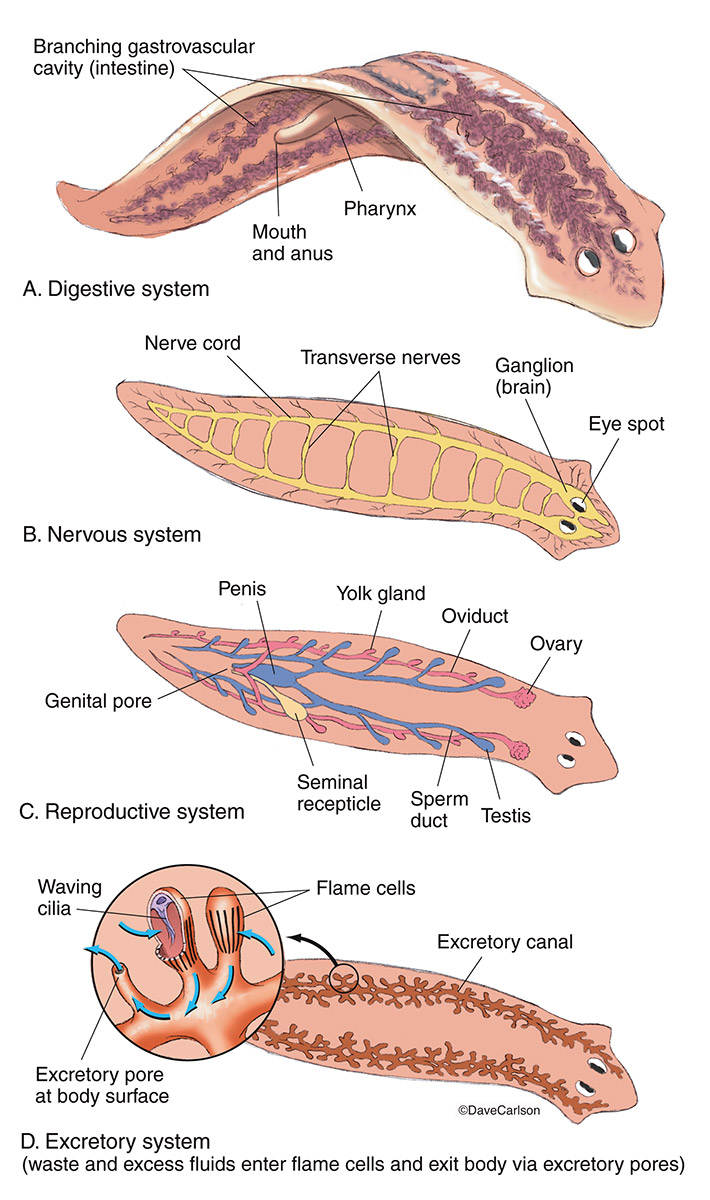 illustration, anatomy, flatworm, genus planaria, planarian, photo