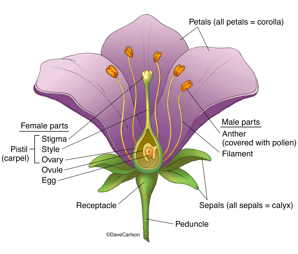 illustration, structure of a flower, generalized, photo