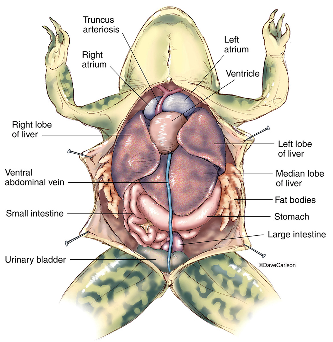 Illustration, frog thoracic abdominal organs in situ, frog anatomy, overview, photo